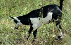 Cows and goats have been introduced onto the land