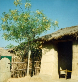 Moringa trees have been used to combat malnutrition, especially among infants and nursing mothers