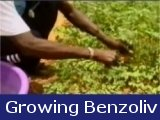 Growing Benzoliv in Haiti